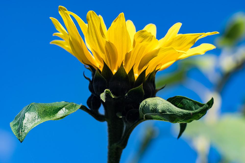 photoblog image Sunflower.