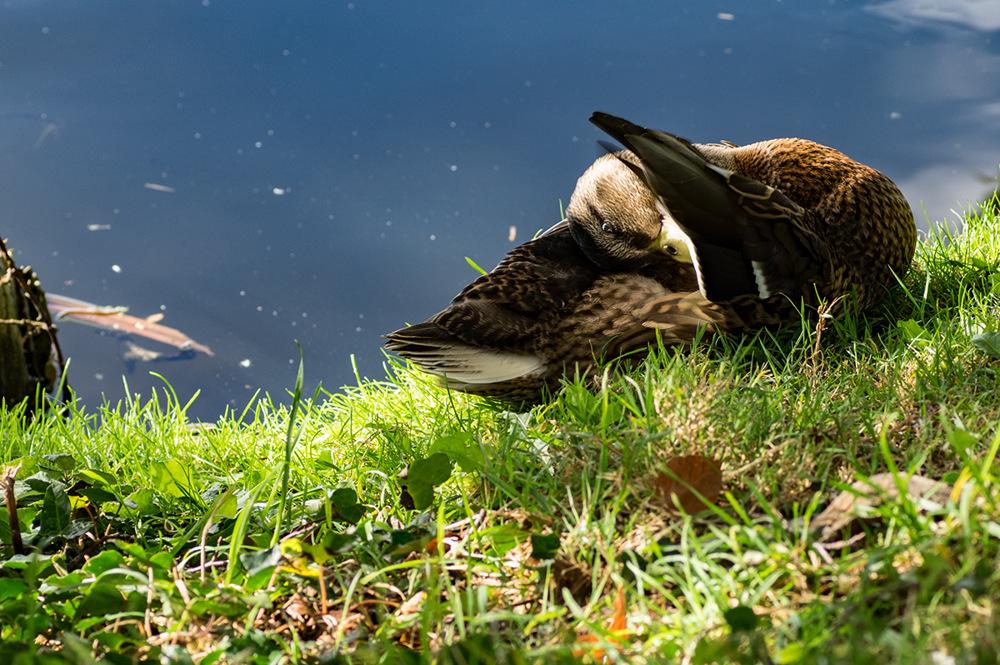 photoblog image Duck!