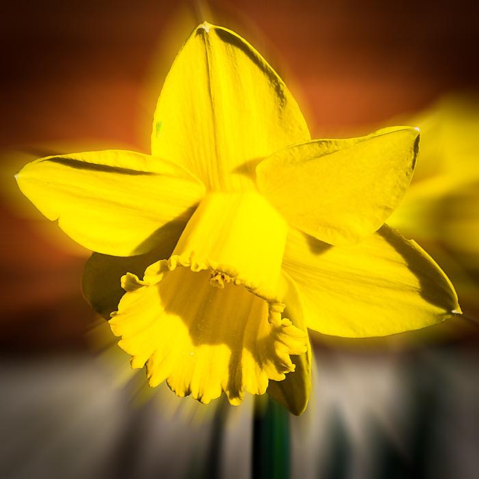 photoblog image Daffodil in my garden