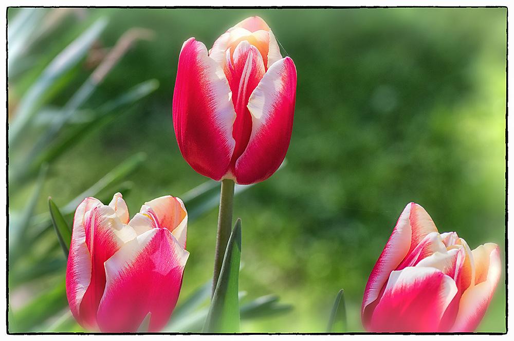 photoblog image Tulip