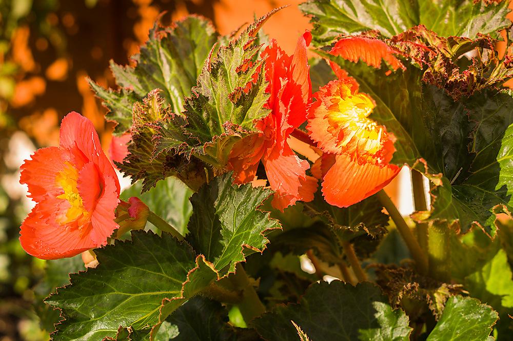 photoblog image Begonia 1