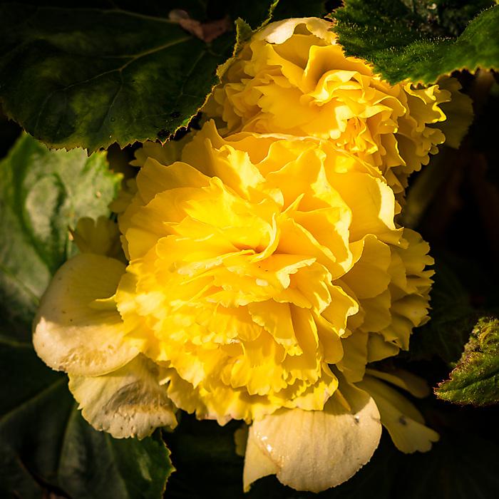 photoblog image Begonia 2