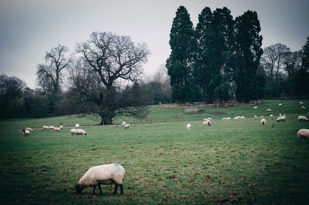 photoblog image Sheep may safely graze