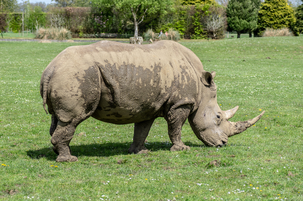 photoblog image Rhinoceros
