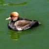 A Trump duck