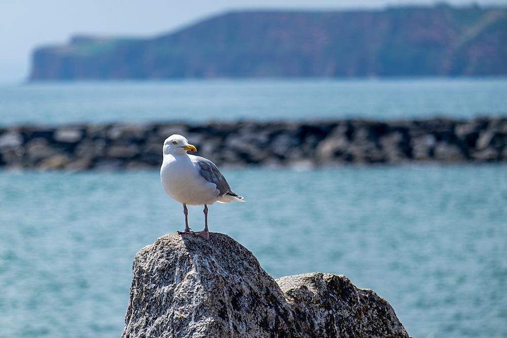 photoblog image A Gull