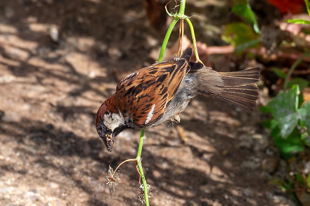 photoblog image House Sparrow