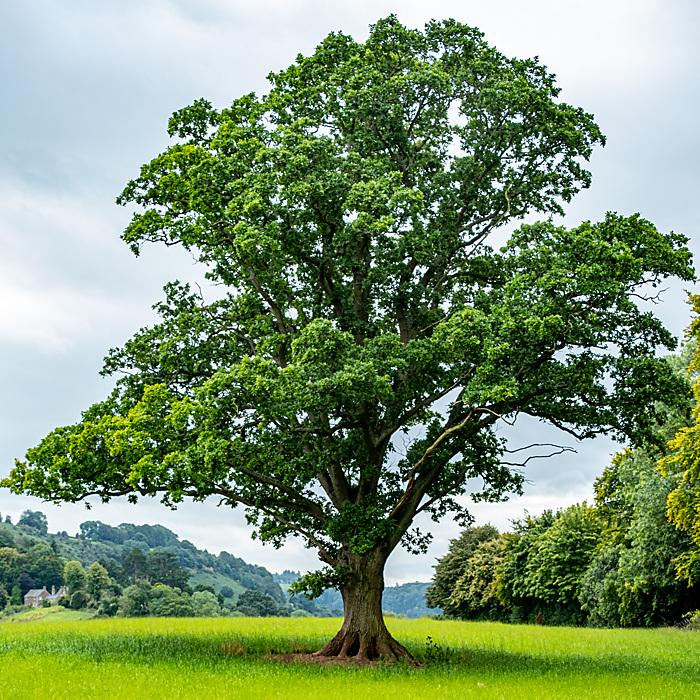 photoblog image Solitary Tree