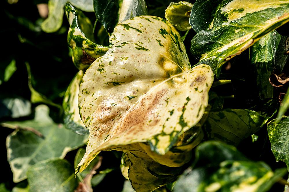 photoblog image Ivy leaf