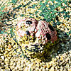 A weathered Frog