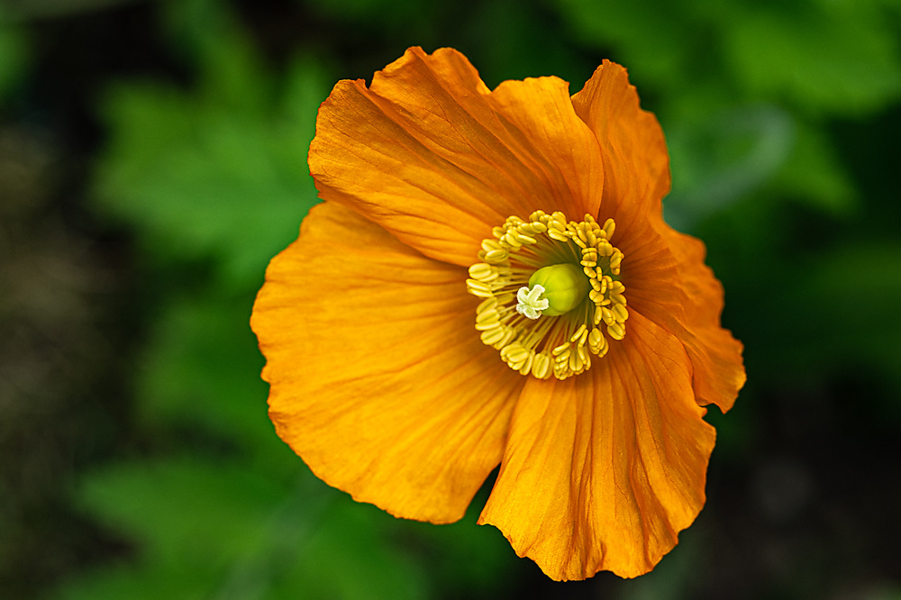 photoblog image Welsh Poppy