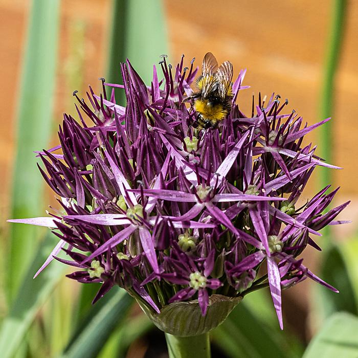 photoblog image Bee on Allium
