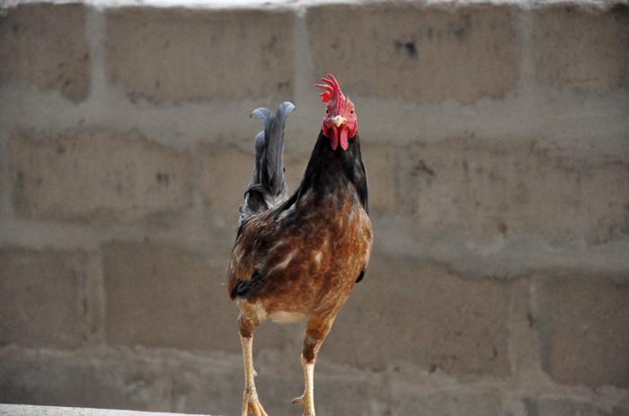 photoblog image chicken 1