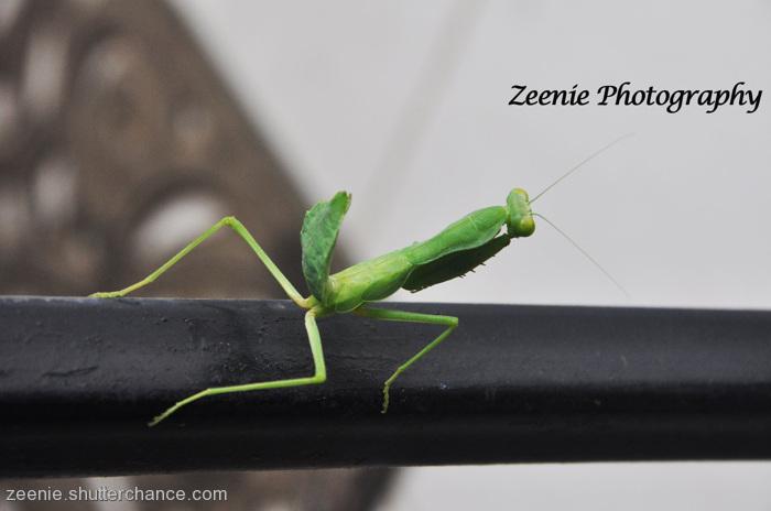 photoblog image Praying Mantis